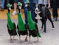 Fashion Ducks